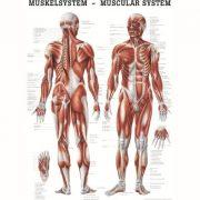 Anatómiai Plakát (50x70 cm): Az Emberi Izomzat (An