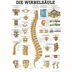 Anatómiai Plakát (50x70 cm): A Gerinc (Die Wirbels