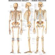 Anatómiai Mini-Plakát (24x34 cm): Az Emberi Csontv