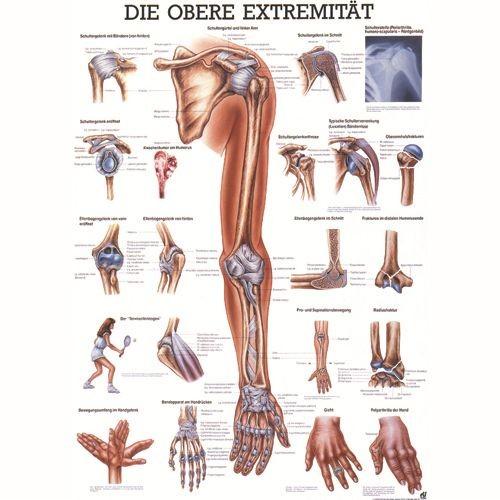 Anatómiai Mini-Plakát (24x34 cm): A Felső Végtagok