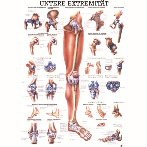 Anatómiai Mini-Plakát (24x34 cm): Az Alsó Végtagok