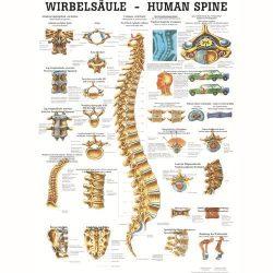 Anatómiai Mini-Plakát (24x34 cm): A gerinc (Die Wi
